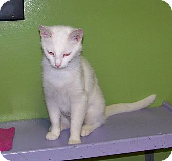 Domestic Shorthair Cat for adoption in Dover, Ohio - Perrie
