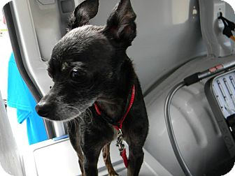 Chihuahua Mix Dog for adoption in Griffith, Indiana - Gustavo ADOPTED