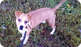 Hound (Unknown Type)/Jack Russell Terrier Mix Dog for adoption in Waldorf, Maryland - Roxy