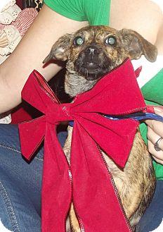 Chihuahua/Corgi Mix Dog for adoption in Chiefland, Florida - Daisy