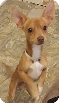 Chihuahua Mix Dog for adoption in Houston, Texas - SHORTY