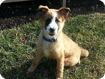Collie Mix Puppy for adoption in Columbus, Ohio - Ashton