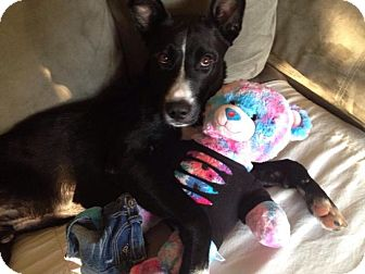 Australian Kelpie/Shepherd (Unknown Type) Mix Dog for adoption in Crown Point, Indiana - Shep