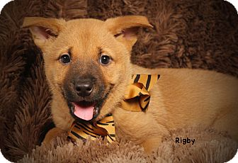 Border Collie/Australian Shepherd Mix Puppy for adoption in Kerrville, Texas - Rigby