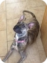 Pit Bull Terrier/Boxer Mix Puppy for adoption in Las Vegas, Nevada - DJ