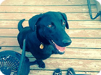 Labrador Retriever Mix Puppy for adoption in Salem, Massachusetts - Thunder