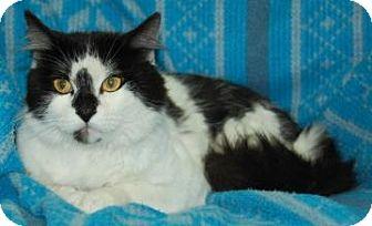 Domestic Shorthair Cat for adoption in Bradenton, Florida - Gizmo