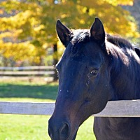 Thoroughbred for adoption in Washington, Connecticut - Sadie