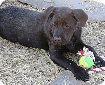 Labrador Retriever Mix Puppy for adoption in Godley, Texas - Fall Lab girl -Orange Lei girl