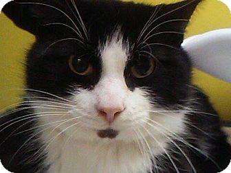 Domestic Shorthair Cat for adoption in Adrian, Michigan - Pyper