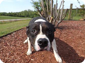 American Pit Bull Terrier Mix Dog for adoption in Thomaston, Georgia - Home Town Hero