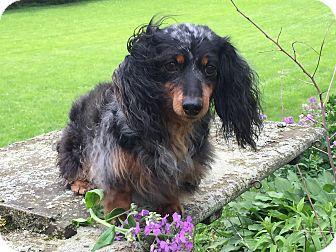 Dachshund Mix Dog for adoption in Marcellus, Michigan - Susie