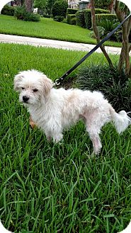 Poodle (Miniature)/Terrier (Unknown Type, Medium) Mix Dog for adoption in Houston, Texas - Johnny B Good