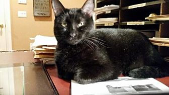 Domestic Mediumhair Cat for adoption in BROOKSVILLE, Florida - SAMANTHA