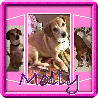 Corgi Mix Dog for adoption in ST LOUIS, Missouri - Molly