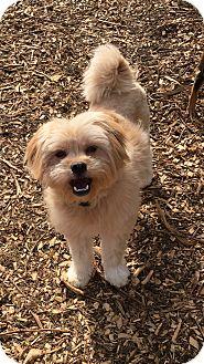 Lhasa Apso Mix Dog for adoption in Va Beach, Virginia - Garrett