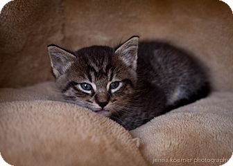 Maine Coon Kitten for adoption in Los Angeles, California - Eclipse