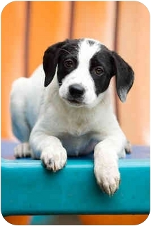 Labrador Retriever Mix Puppy for adoption in Portland, Oregon - Eden & siblings