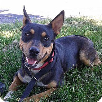 Cattle Dog/Shepherd (Unknown Type) Mix Dog for adoption in Minneapolis, Minnesota - Sweetie