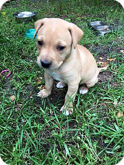 Labrador Retriever/Shepherd (Unknown Type) Mix Puppy for adoption in Nanuet, New York - Lady