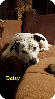 Dalmatian/Boxer Mix Dog for adoption in Avon, Ohio - Daisy