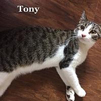 Adopt A Pet :: Tony - Bentonville, AR