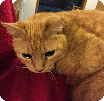 Domestic Shorthair Cat for adoption in Salem, Oregon - Ronnie