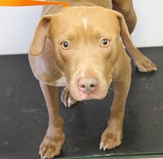 American Pit Bull Terrier Mix Dog for adoption in Fulton, Missouri - LouLou *Kentucky