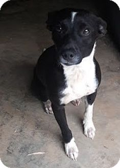 Terrier (Unknown Type, Small)/Feist Mix Dog for adoption in Marietta, Georgia - Sparky