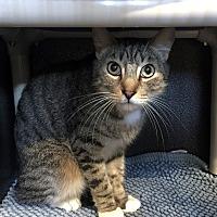 Domestic Shorthair Kitten for adoption in Los Angeles, California - Jones