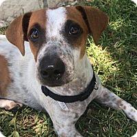 Adopt A Pet :: Bella-B - Austin, TX