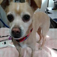 Chihuahua Mix Dog for adoption in Rio Rancho, New Mexico - Snowy