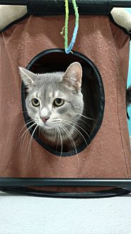 Domestic Shorthair/Domestic Shorthair Mix Cat for adoption in Muskegon, Michigan - lex purrther