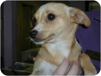 Chihuahua Dog for adoption in Las Vegas, Nevada - Izzy