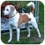 Photo 3 - Beagle/Jack Russell Terrier Mix Dog for adoption in Manhasset, New York - Chloe
