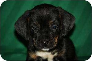 Dachshund/Spaniel (Unknown Type) Mix Puppy for adoption in West Milford, New Jersey - MILO