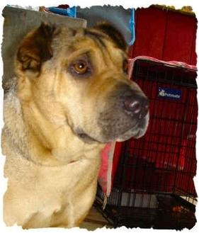 Shar Pei/Shepherd (Unknown Type) Mix Dog for adoption in Bakersfield, California - Bella