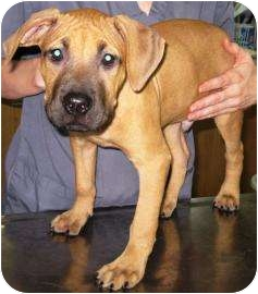 American Pit Bull Terrier Mix Puppy for adoption in Charlotte, North Carolina - Draco