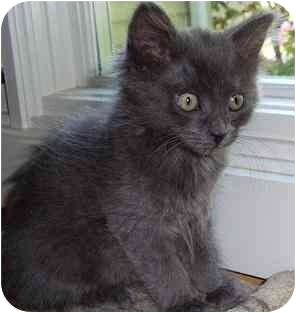 Domestic Mediumhair Kitten for adoption in Portland, Oregon - Hula