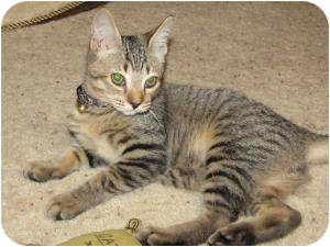 Domestic Shorthair Cat for adoption in Steilacoom, Washington - Pickles