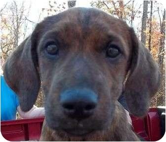 Plott Hound/Boxer Mix Puppy for adoption in P, Maine - Weaver