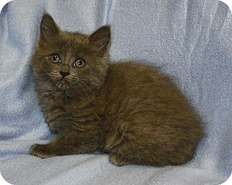 Domestic Longhair Kitten for adoption in Rochester, New York - Jacques