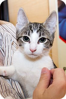 Domestic Shorthair Kitten for adoption in Irvine, California - Star