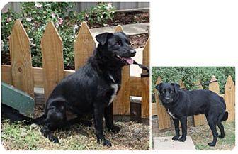 Border Collie/Labrador Retriever Mix Dog for adoption in Haughton, Louisiana - Sabine kill shelter (T.W.)