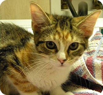 Domestic Shorthair Kitten for adoption in Marion, Wisconsin - Raspberry