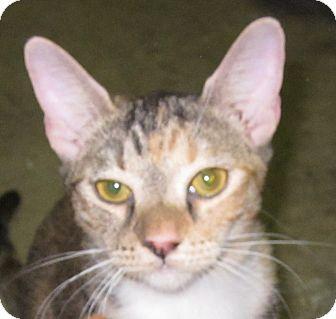 Domestic Shorthair Kitten for adoption in Winchester, California - JJ