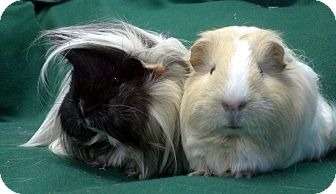 Guinea Pig for adoption in Lewisville, Texas - Crystal and Shelby