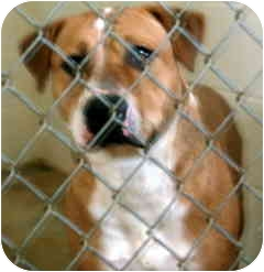Labrador Retriever/American Staffordshire Terrier Mix Dog for adoption in Rockville, Maryland - Ginger