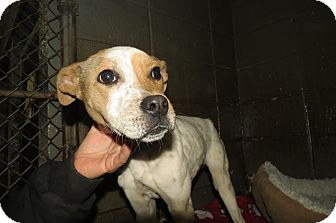 Jack Russell Terrier/Terrier (Unknown Type, Small) Mix Dog for adoption in Henderson, North Carolina - Tessi