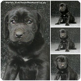 Bloodhound/Labrador Retriever Mix Puppy for adoption in Evansville, Indiana - Martina